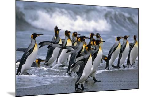 Group of King Penguins Walking in Surf on Beach South Georgia Island Antarctic Summer-Design Pics Inc-Mounted Photographic Print