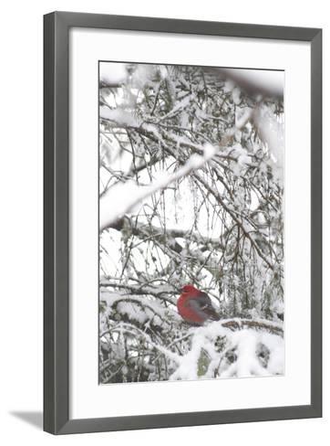 Pine Grosbeak on Snowy Branch Winter Sc Alaska-Design Pics Inc-Framed Art Print