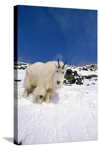 Mountain Goat Billy on High Mountain Slope-Design Pics Inc-Stretched Canvas Print