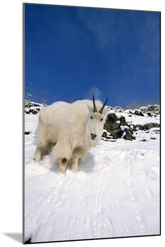 Mountain Goat Billy on High Mountain Slope-Design Pics Inc-Mounted Photographic Print