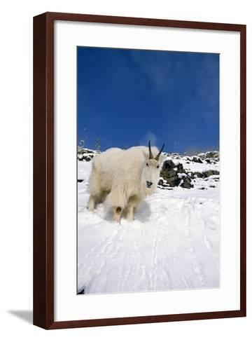 Mountain Goat Billy on High Mountain Slope-Design Pics Inc-Framed Art Print