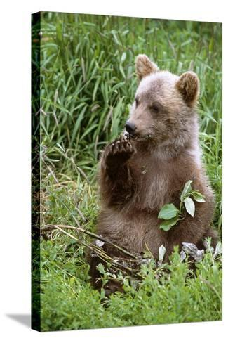Young Brown Bear Cub Sitting in Grassy Meadow Sc Summer Alaska Wildlife Conservation Center Captive-Design Pics Inc-Stretched Canvas Print