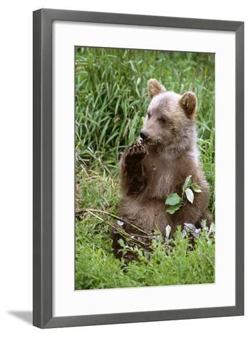 Young Brown Bear Cub Sitting in Grassy Meadow Sc Summer Alaska Wildlife Conservation Center Captive-Design Pics Inc-Framed Art Print