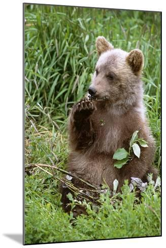Young Brown Bear Cub Sitting in Grassy Meadow Sc Summer Alaska Wildlife Conservation Center Captive-Design Pics Inc-Mounted Photographic Print