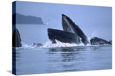 Humpback Whales Lunge Feeding-Design Pics Inc-Stretched Canvas Print