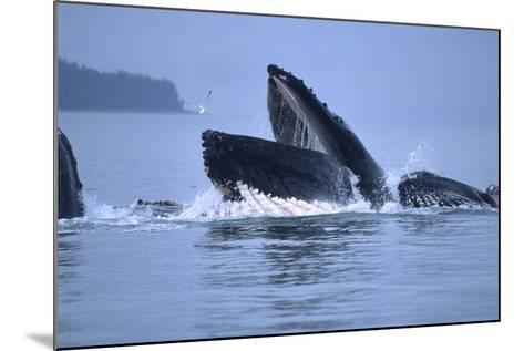 Humpback Whales Lunge Feeding-Design Pics Inc-Mounted Photographic Print