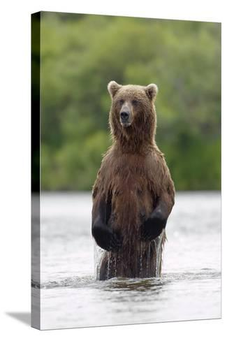 Brown Bear Sow Standing-Design Pics Inc-Stretched Canvas Print