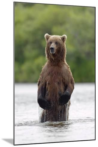 Brown Bear Sow Standing-Design Pics Inc-Mounted Photographic Print