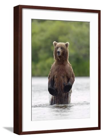 Brown Bear Sow Standing-Design Pics Inc-Framed Art Print