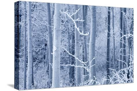Frost Coated Birch Forest Near Knik River Mat-Su Valley Southcentral Alaska Winter-Design Pics Inc-Stretched Canvas Print