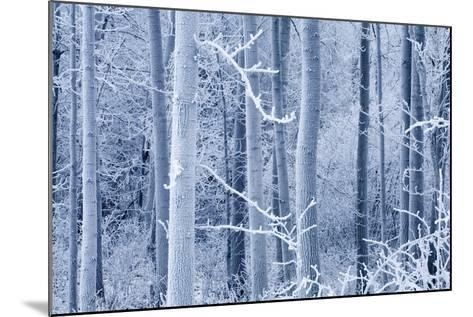 Frost Coated Birch Forest Near Knik River Mat-Su Valley Southcentral Alaska Winter-Design Pics Inc-Mounted Photographic Print