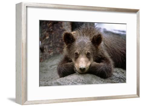 Grizzly Bear Cub Laying on Ground Alaska Wildlife Conservation Center Sc Alaska Summer Captive-Design Pics Inc-Framed Art Print