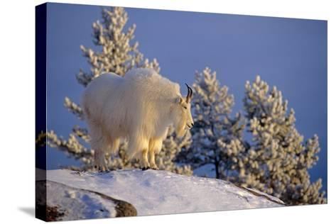 Mountain Goat Billys on High Mountain Slope Chugach National Forest Kenai Peninsula Ak Spring-Design Pics Inc-Stretched Canvas Print