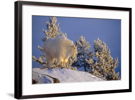 Mountain Goat Billys on High Mountain Slope Chugach National Forest Kenai Peninsula Ak Spring-Design Pics Inc-Framed Art Print