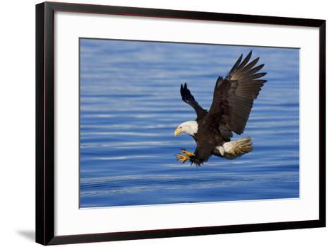 Bald Eagle Preparing to Grab Fish Out of Water Inside Passage Alaska Southeast Spring-Design Pics Inc-Framed Art Print