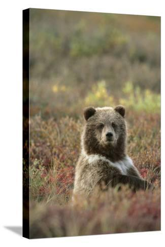 Yearling Brown Bear Cub Sits in Autumn Tundra in Ak Fall Denali Np-Design Pics Inc-Stretched Canvas Print