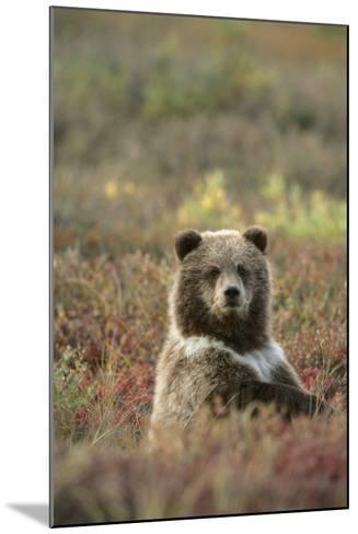 Yearling Brown Bear Cub Sits in Autumn Tundra in Ak Fall Denali Np-Design Pics Inc-Mounted Photographic Print