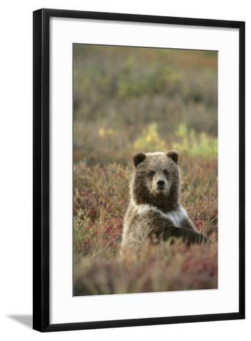 Yearling Brown Bear Cub Sits in Autumn Tundra in Ak Fall Denali Np-Design Pics Inc-Framed Art Print