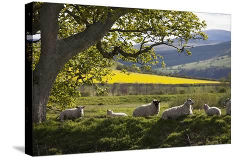 Sheep Laying on the Grass under a Tree; Northumberland England-Design Pics Inc-Stretched Canvas Print