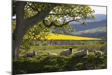 Sheep Laying on the Grass under a Tree; Northumberland England-Design Pics Inc-Mounted Photographic Print