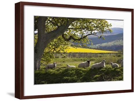 Sheep Laying on the Grass under a Tree; Northumberland England-Design Pics Inc-Framed Art Print
