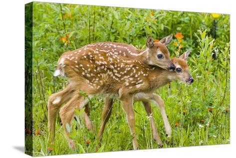 Twin White-Tailed Deer Fawns Nuzzling Together in Meadow Minnesota Spring Captive-Design Pics Inc-Stretched Canvas Print