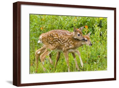 Twin White-Tailed Deer Fawns Nuzzling Together in Meadow Minnesota Spring Captive-Design Pics Inc-Framed Art Print
