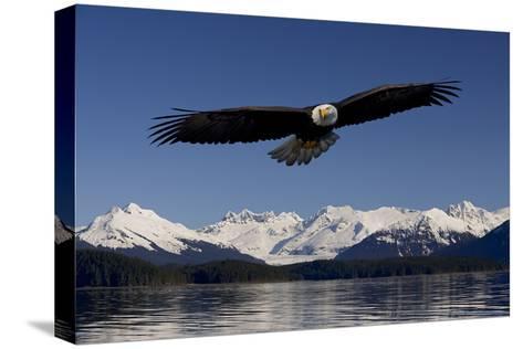 Bald Eagle in Flight Inside Passage Tongass National Forest Se Alaska Spring-Design Pics Inc-Stretched Canvas Print