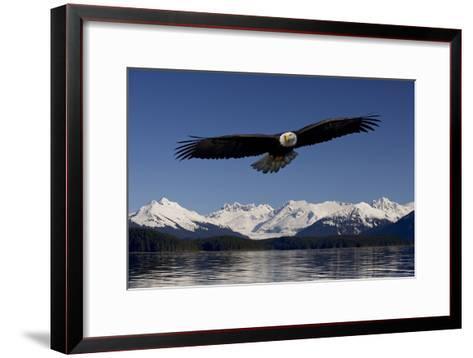 Bald Eagle in Flight Inside Passage Tongass National Forest Se Alaska Spring-Design Pics Inc-Framed Art Print