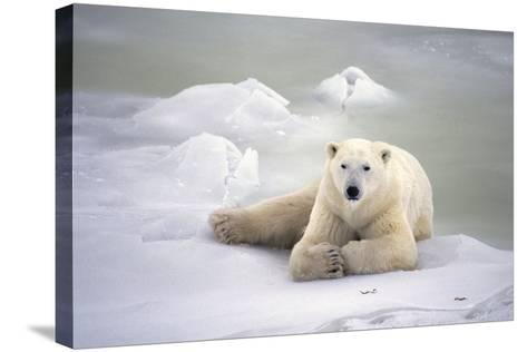 Polar Bear Laying on the Ice Churchill Manitoba Canada Spring-Design Pics Inc-Stretched Canvas Print