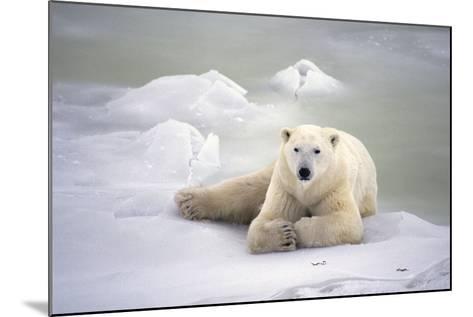 Polar Bear Laying on the Ice Churchill Manitoba Canada Spring-Design Pics Inc-Mounted Photographic Print