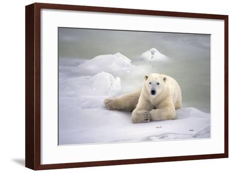 Polar Bear Laying on the Ice Churchill Manitoba Canada Spring-Design Pics Inc-Framed Art Print
