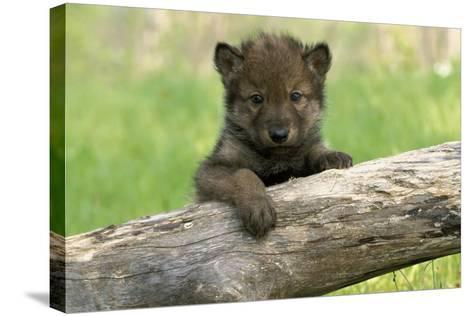 Captive Wolf Pup on Log Minnesota-Design Pics Inc-Stretched Canvas Print