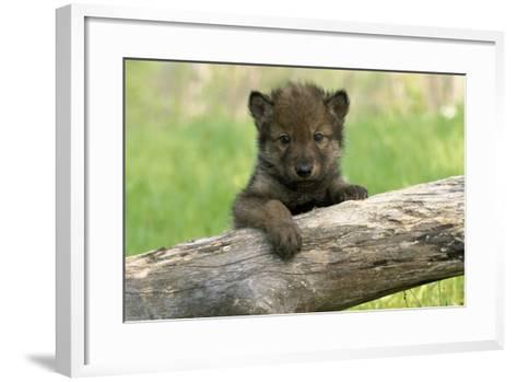 Captive Wolf Pup on Log Minnesota-Design Pics Inc-Framed Art Print