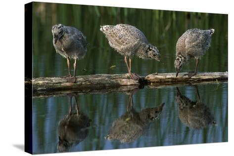 Adolescent Gull Chicks on Log Potter Marsh Sc Ak Summer Wildlife Refuge-Design Pics Inc-Stretched Canvas Print