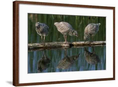 Adolescent Gull Chicks on Log Potter Marsh Sc Ak Summer Wildlife Refuge-Design Pics Inc-Framed Art Print