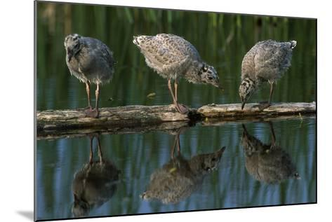 Adolescent Gull Chicks on Log Potter Marsh Sc Ak Summer Wildlife Refuge-Design Pics Inc-Mounted Photographic Print