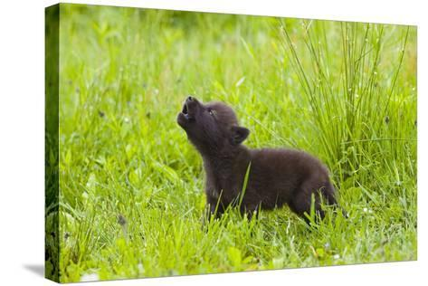 Young Wolf Pup in Meadow Instinctively Howling Minnesota Spring Captive-Design Pics Inc-Stretched Canvas Print