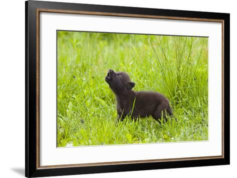 Young Wolf Pup in Meadow Instinctively Howling Minnesota Spring Captive-Design Pics Inc-Framed Art Print