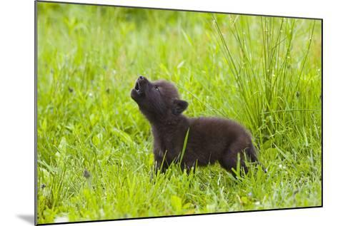 Young Wolf Pup in Meadow Instinctively Howling Minnesota Spring Captive-Design Pics Inc-Mounted Photographic Print
