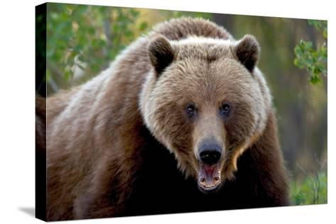 Closeup of Brown Bear Yukon Territory Canada Spring-Design Pics Inc-Stretched Canvas Print