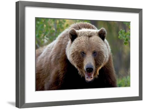 Closeup of Brown Bear Yukon Territory Canada Spring-Design Pics Inc-Framed Art Print