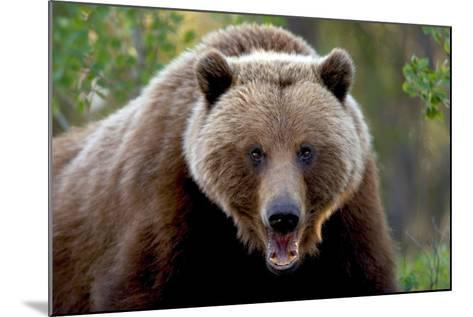 Closeup of Brown Bear Yukon Territory Canada Spring-Design Pics Inc-Mounted Photographic Print