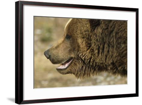 Profile of Brown Bear Denali Np in Alaska Spring-Design Pics Inc-Framed Art Print