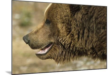 Profile of Brown Bear Denali Np in Alaska Spring-Design Pics Inc-Mounted Photographic Print