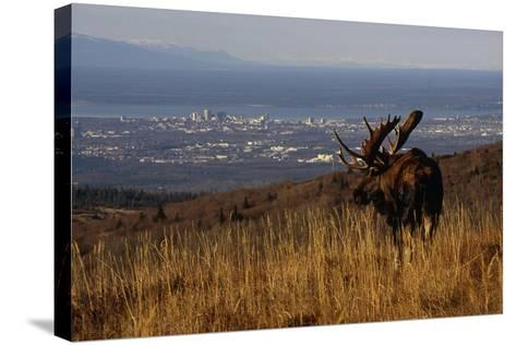 Bull Moose Grazing and Resting on Hillside Above Anchorage Chugach State Park Southcentral Ak Autum-Design Pics Inc-Stretched Canvas Print