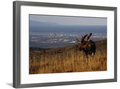 Bull Moose Grazing and Resting on Hillside Above Anchorage Chugach State Park Southcentral Ak Autum-Design Pics Inc-Framed Art Print