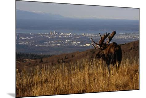 Bull Moose Grazing and Resting on Hillside Above Anchorage Chugach State Park Southcentral Ak Autum-Design Pics Inc-Mounted Photographic Print