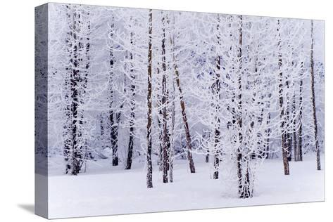 Frost Covered Cottonwood Trees Near Portage Ak Sc Winter Digital Filter-Design Pics Inc-Stretched Canvas Print