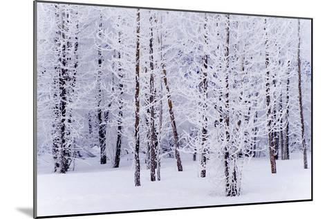 Frost Covered Cottonwood Trees Near Portage Ak Sc Winter Digital Filter-Design Pics Inc-Mounted Photographic Print